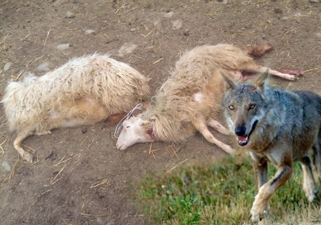 """La Cia lancia l'allarme lupi anche a Faenza: """"Attaccati allevamenti"""""""