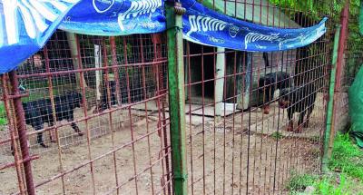 Quattordici rottweiler sequestrati in un allevamento a Cesena