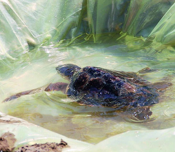 Cattolica, tartaruga liberata in mare