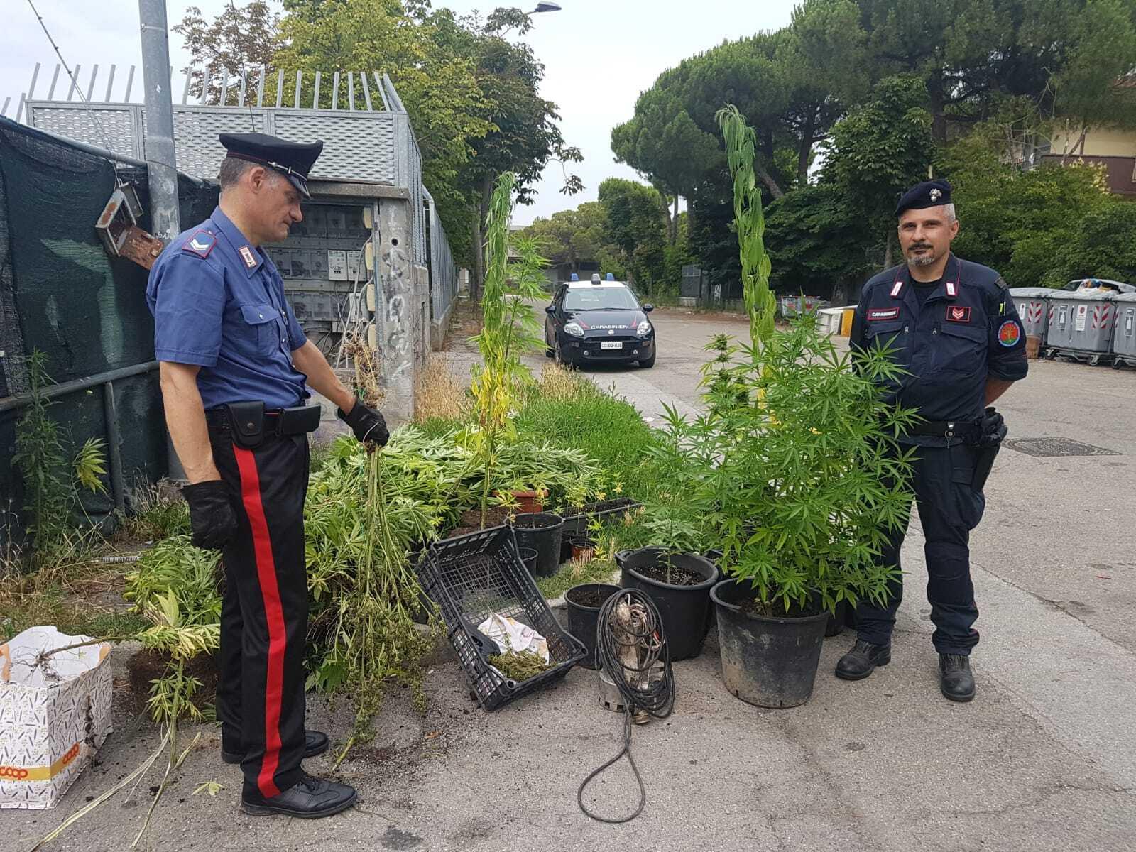 Rimini, scoperta dal cielo piantagione di marijuana accanto al campo nomadi