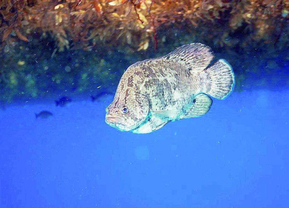 Pesci tropicali al largo di Cervia mai visti in alto Adriatico