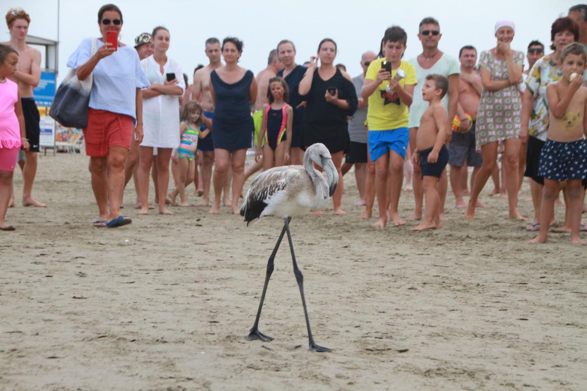 Cervia, il fenicottero in spiaggia scortato dai vigili