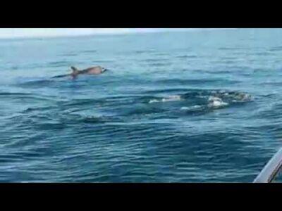 Rimini. Branco di delfini cattura piccolo tonno. Il video