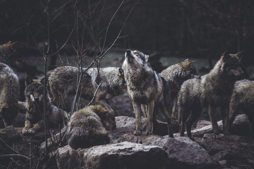 A Santa Sofia sulle tracce dei lupi. Monitoraggio con i richiami