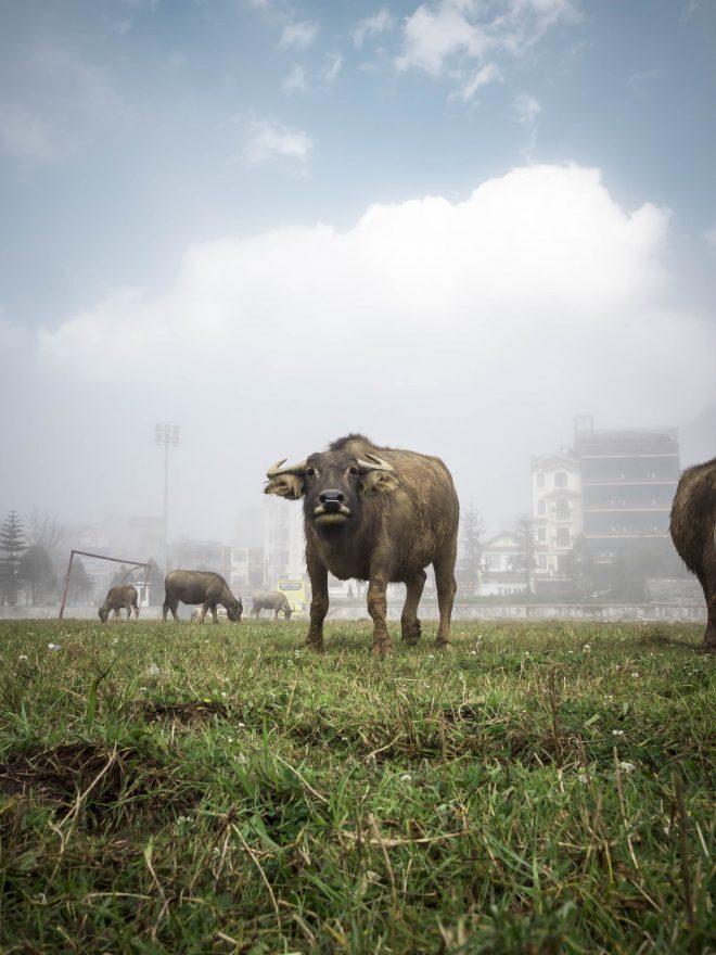 Novafeltria, allevatore muore incornato dal toro