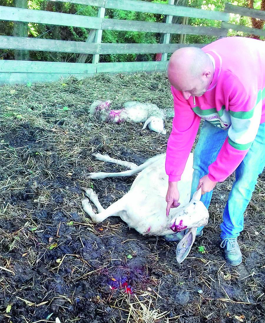 Lupi in azione alle porte di Forlì, assalite pecore e un cavallo