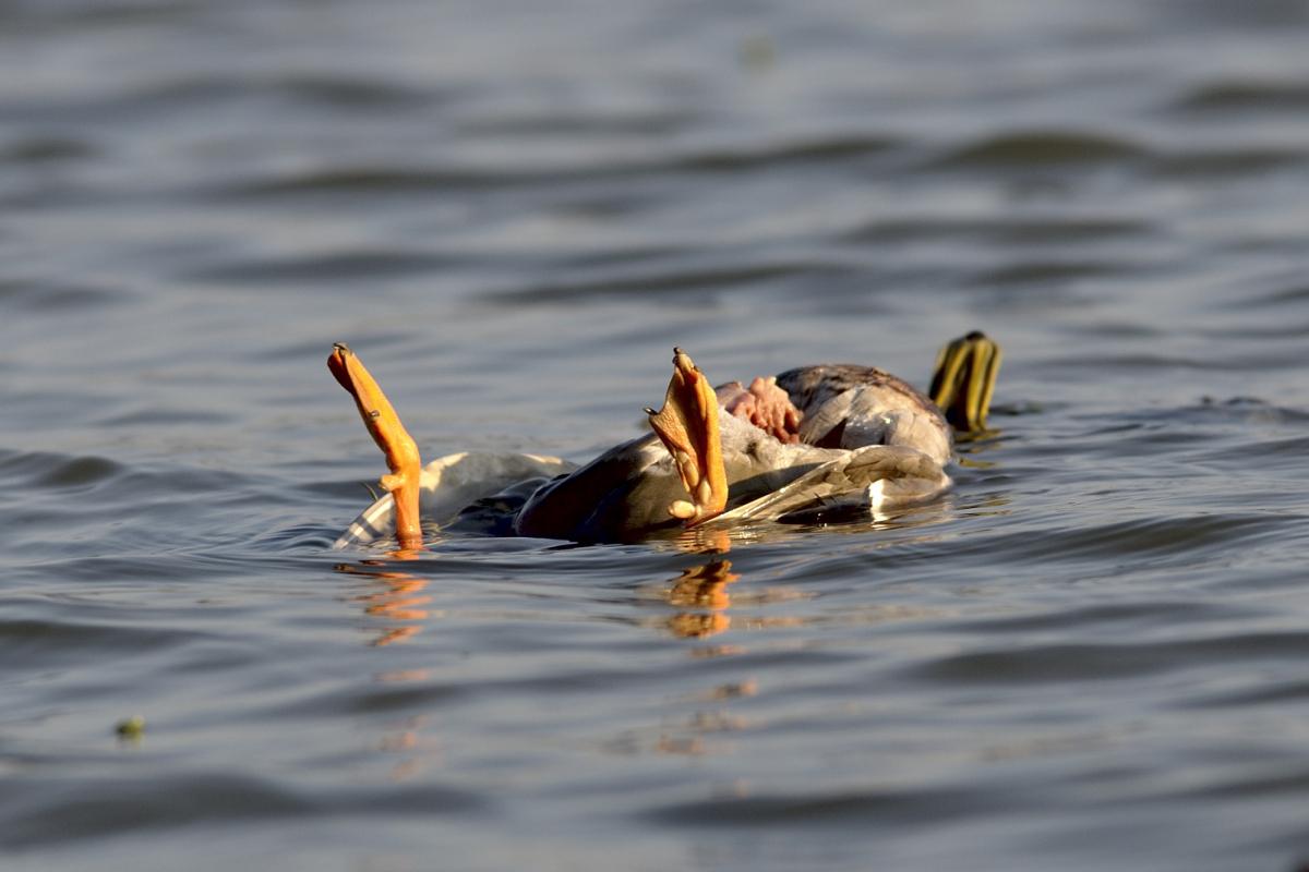 """Strage di uccelli a Ravenna, """"picco di contaminazione superato"""""""