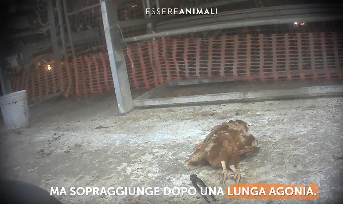 """""""Galline maltrattate in allevamento"""", video choc di Essere Animali"""