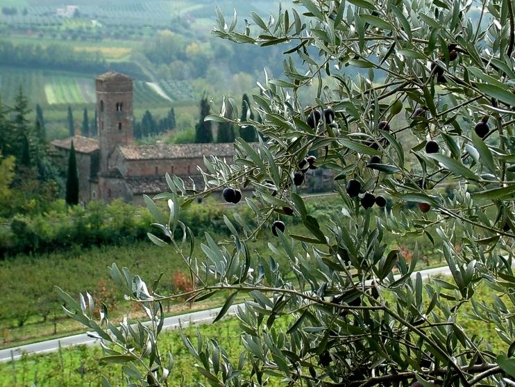 L'olio che verrà, la raccolta delle olive in Romagna in anticipo