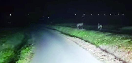 Cesena, 2 lupi  scesi a Calisese a non più di 300 metri dalla Secante
