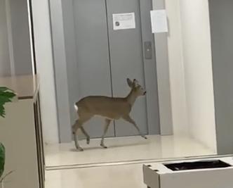 Capriolo entra in scuola a Imola - VIDEO
