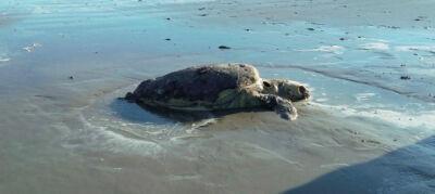 Spiaggiate tre tartarughe morte a Rimini