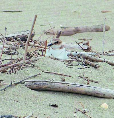 Ravenna, il fratino appena nato in spiaggia ucciso da un falco