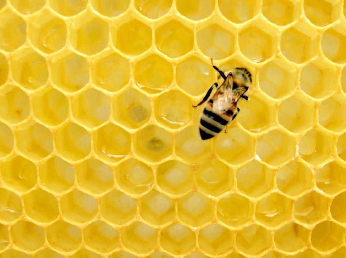 yellow bee on honeycomb