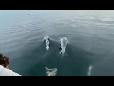 Rimini. Lo show in mare di un branco di delfini