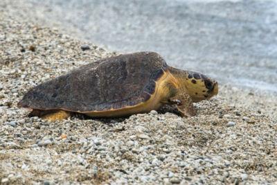 Le piccole tartarughe contro la tempesta, il nido più a nord