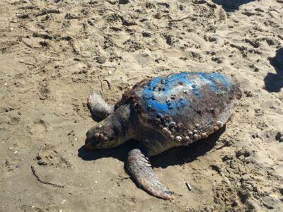 Tartaruga morta in spiaggia a Marina di Ravenna