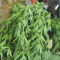 Due piante di marijuana, arrestato 44enne a Ravenna