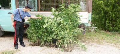 «Le piantagioni di droga a Sogliano? Servono per il mal di schiena»